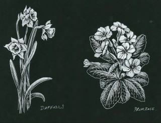 Daffodil's Primrose