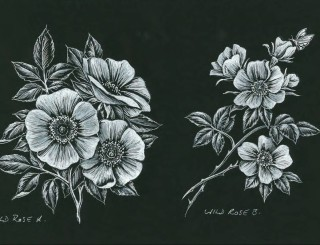 Wild Rose A Wild Rose B